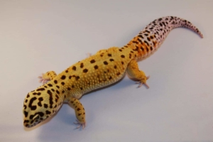 super giant leopard gecko