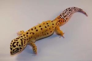 super giant leopard gecko