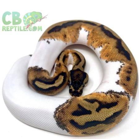 halloween piebald ball python