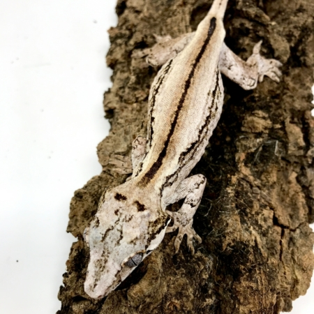 striped gargoyle gecko