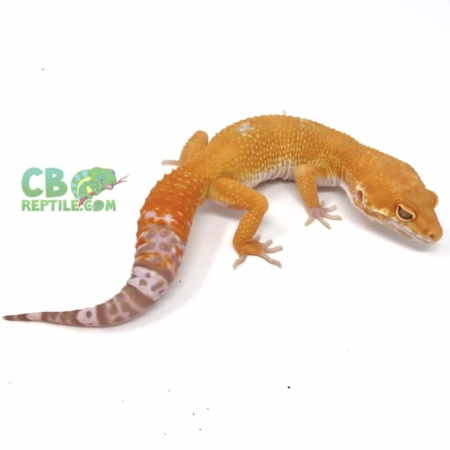 inferno leopard gecko for sale