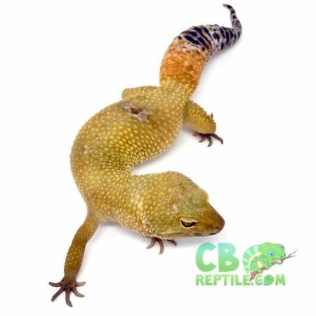 super hypo tangerine leopard gecko for sale