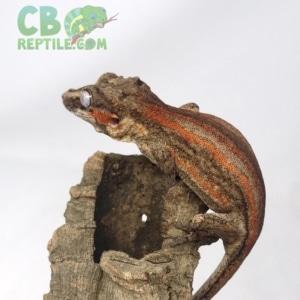 striped gargoyle gecko for sale