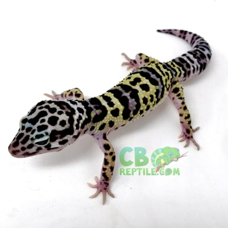 mack snow leopard geckos for sale