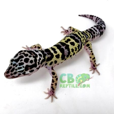 mack snow leopard geckos for sale