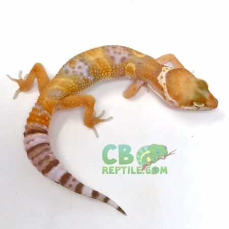 Tangelo Leopard gecko for sale