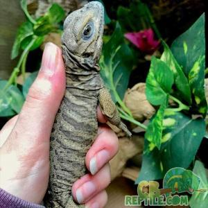 Rhino Iguana temperature