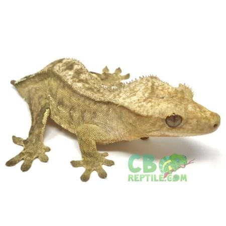 brindle crested gecko