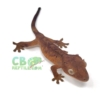 red brindle dalmatian crested gecko