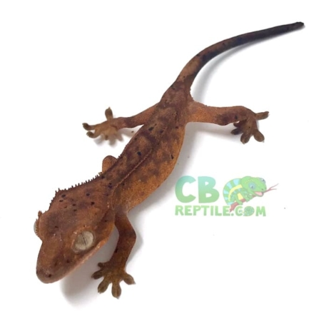 red dalmatian crested gecko for sale