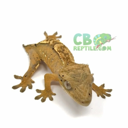 Dalmatian crested gecko for sale