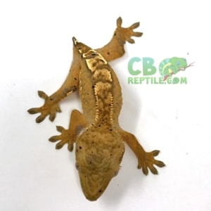 Flame Crested gecko morph