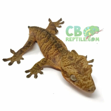 extreme tiger crested gecko for sale