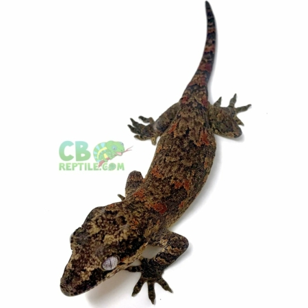 orange blotch gargoyle gecko