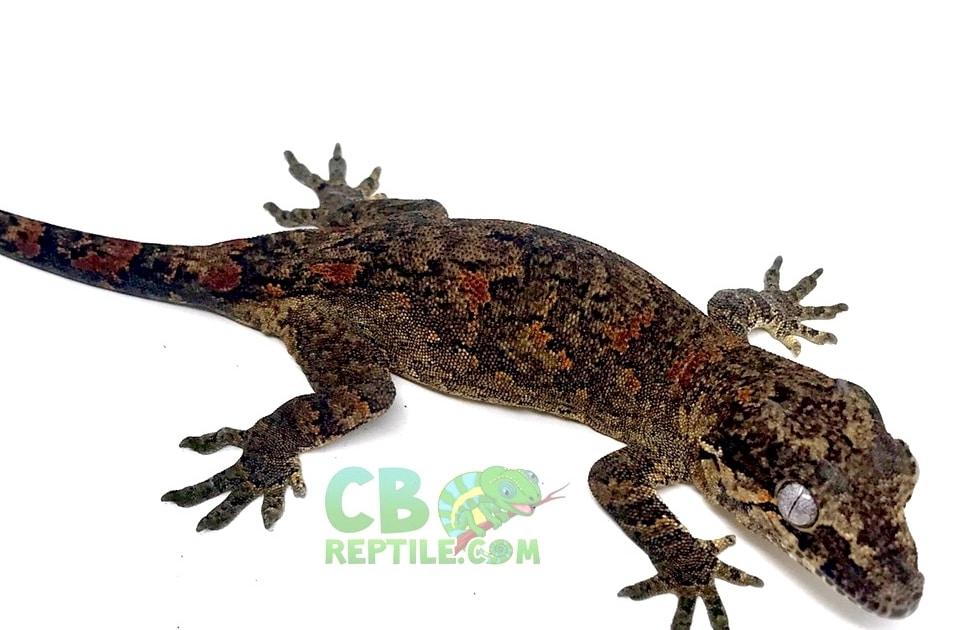 orange blotch gargoyle geckos for sale