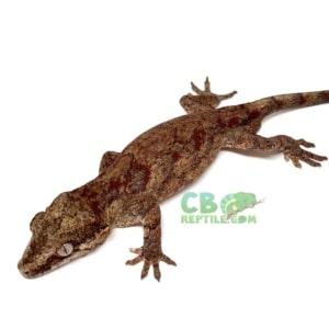 Gargoyle gecko food