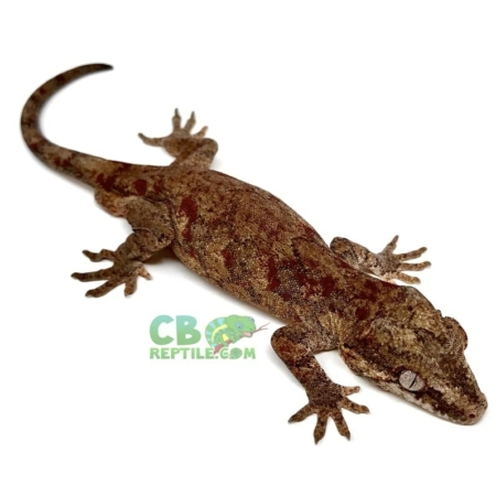 reticulated red blotch gargoyle geckos for sale