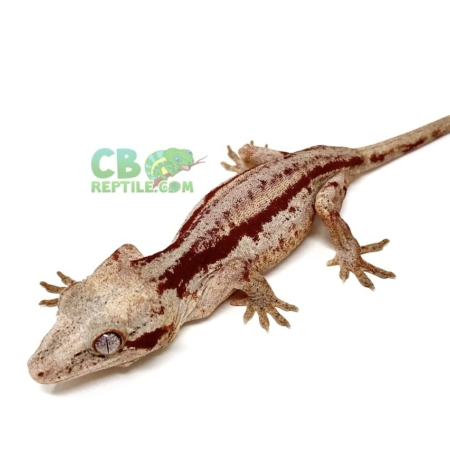 red striped gargoyle geckos for sale