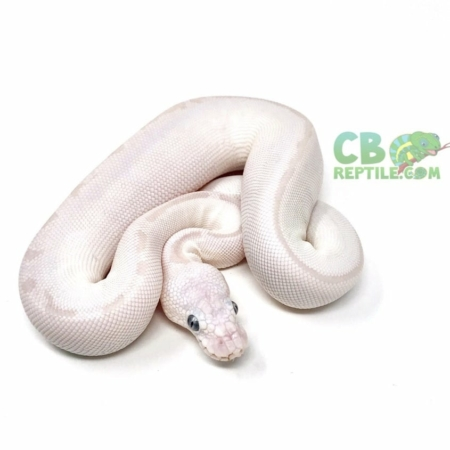 blue eyed lucy ball python for sale