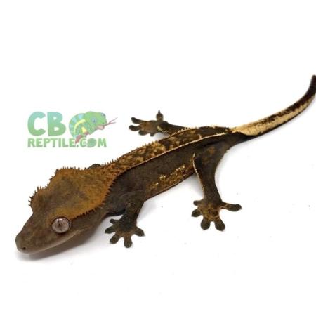 harlequin crested gecko for sale