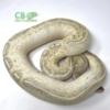 highway ball python for sale
