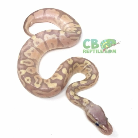 Pastel Banana Ball Python for sale