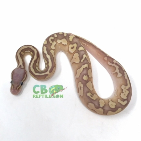 Female Banana Pastel Lesser Ball Python
