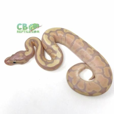 Banana Fire ball python