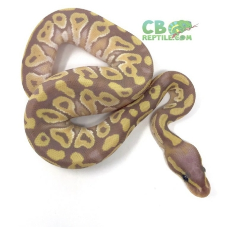 banana mojave ball python for sale