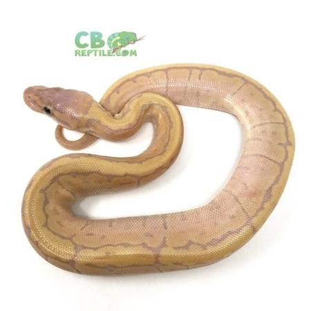 banana pinstripe ball python