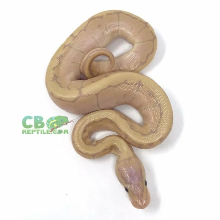 banana pinstripe ball pythons for sale