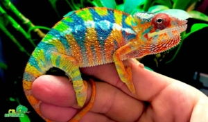 panther chameleon enclosure