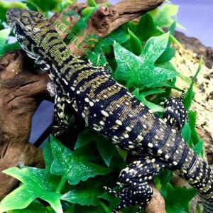 Argentine Tegu Substrate