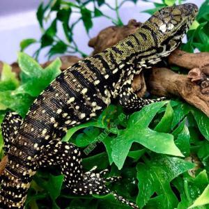 Argentine Tegu UVB light