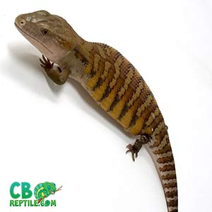 blue tongue skink uv light