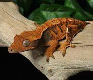 crested gecko color morphs