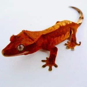 crested gecko habitat
