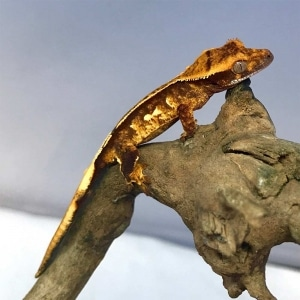 crested gecko size