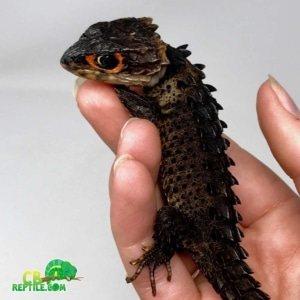 crocodile skink care sheet