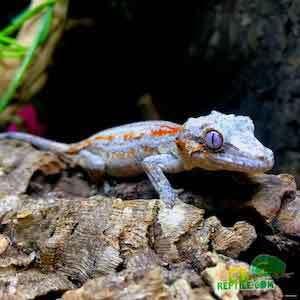 Gargoyle gecko lifespan
