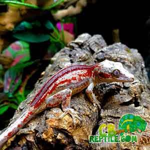 gargoyle gecko temperament