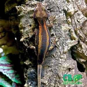 gargoyle gecko temperature