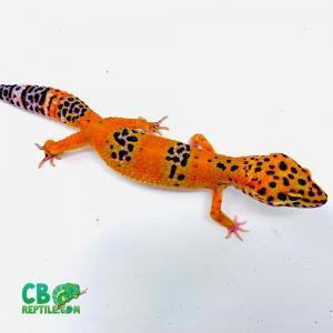 leopard gecko lifespan