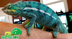 panther chameleon heating