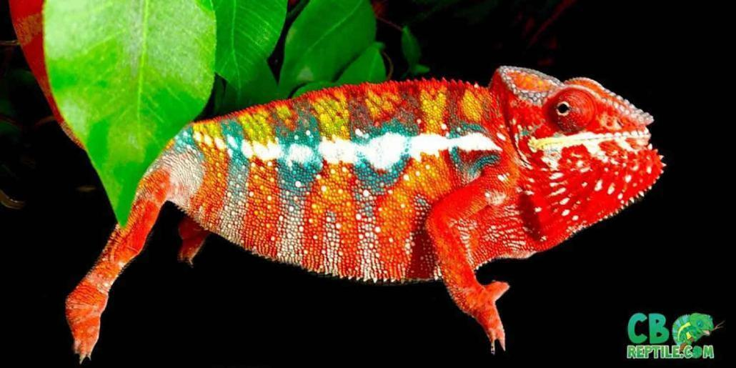 panther chameleon size