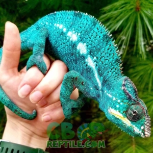 panther chameleon care