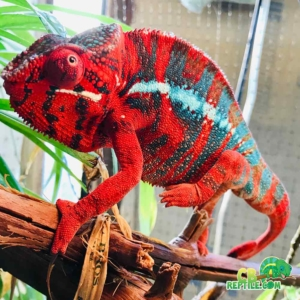 panther chameleon care sheet