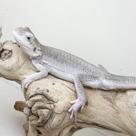 Zero bearded dragon