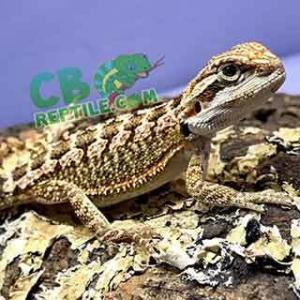 bearded dragon temperature