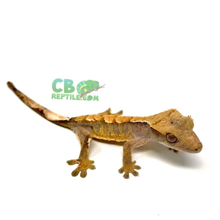 crested gecko for sale near me